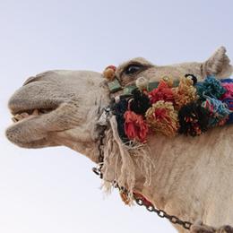 郵票     主题骆驼  '